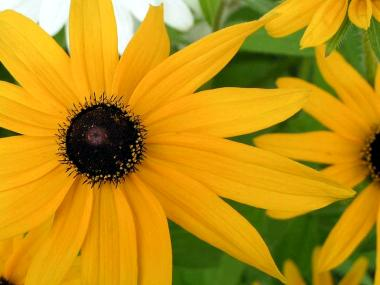 """Brown-eyed Susan"" by Shelby Raymond (Creative Commons)"