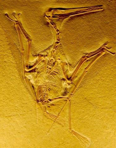 Pterodactyl fossil, Naturhistorisches Museum, Bern, Switzerland